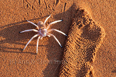 AAS14 Dancing white lady spider with silk lining from burrow
