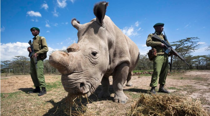 Pointless: the poaching driving rhinos extinct
