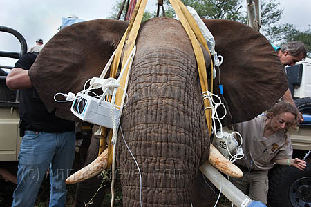 ACV26 Wild elephant ready for surgery in the bush