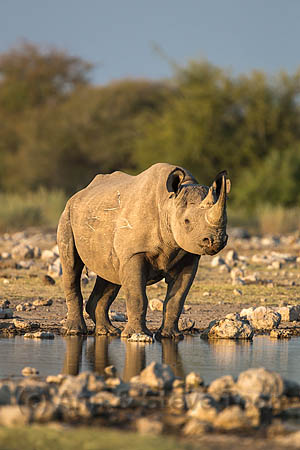 AMHRB162  Black rhino