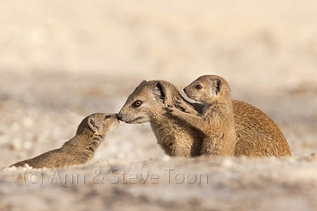Yellow mongoose with young