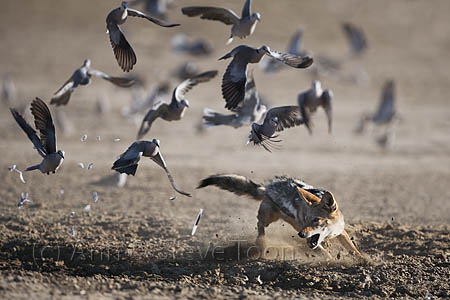 AMPJ95 Blackbacked jackal chasing doves