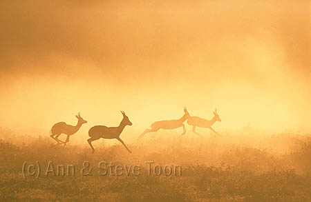 Springbok running at dawn