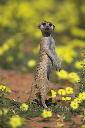 Meerkat in Devil's Thorn flowers