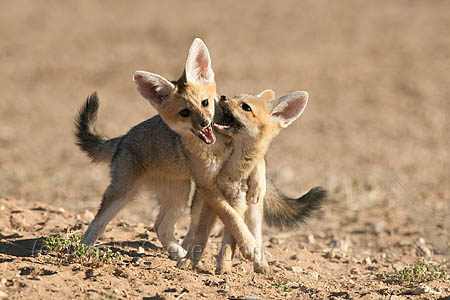 Cape fox cubs playing