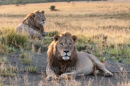 AMPL348 Lions in Mountain Zebra National Park