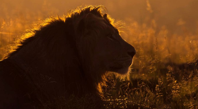 Magnificent 'Mountain' Lions on Dawn Patrol