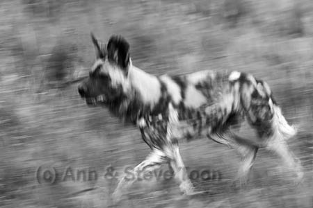 Running wild - Africa's painted hunting dog is a special sighting