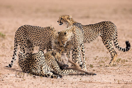 The cheetahs catch their breath after bringing down a young wildebeest calf