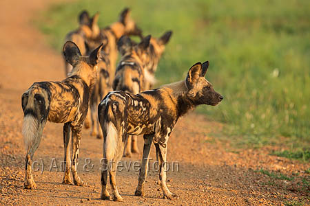 Fantastic drive from Mosetlha, with our guide Justice, turned up this pack of hunting wild dogs