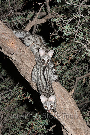 Curious after dinner guests - these young genets were a welome intrusion