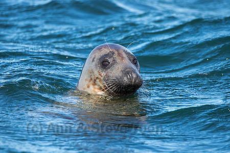BME29 Grey seal