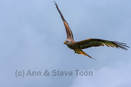 Red kite flying in to the feedling station
