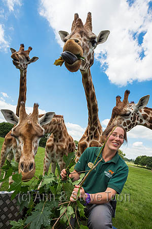 BCF08 Senior keeper Lindsay Banks feeding Rothschild's giraffe a