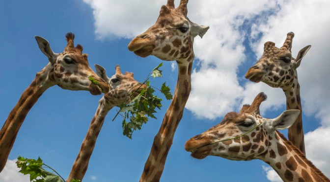 Sticking our necks out for World Giraffe Day