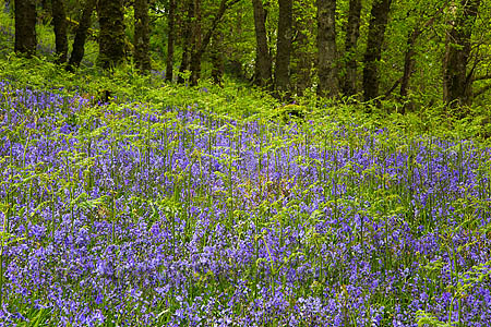 Bluebells in ancient woodland, Galloway