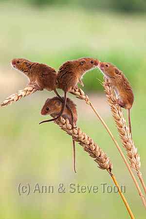 BMV21 Harvest mice