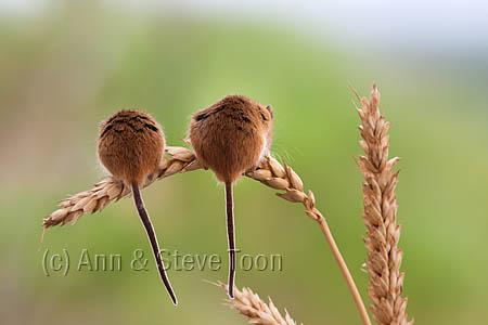 BMV27 Harvest mice