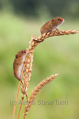 BMV28 Harvest mice
