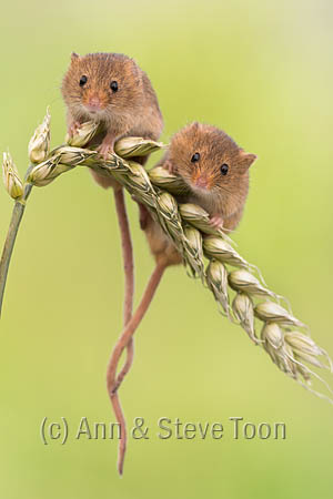 BMV33 Harvest mice