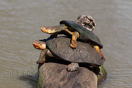 AAT02 Marsh terrapins (African helmeted turtles)
