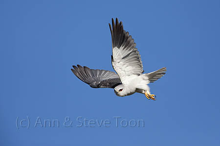ABEM98 Black-shouldered kite in flight, Intaka
