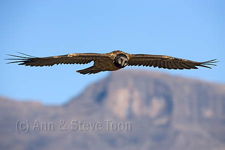 ABEV71(D) Bearded vulture subadult