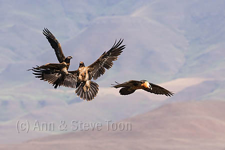 ABEV79(D) Bearded vulture adult and squabbling subadults