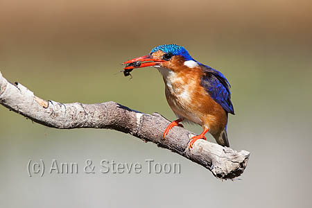 ABKK38 Malachite kingfisher with beetle