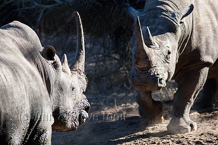 AMHRW193 White rhinos in aggressive confrontation