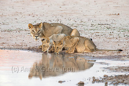 AMPL327 Lioness and cubs at water