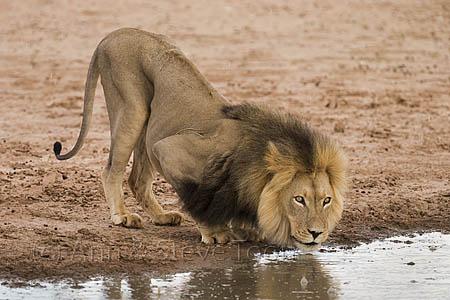 AMPL339 Lion drinking