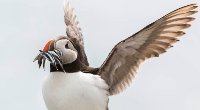 Puffin chicks get health check-ups on the Farnes
