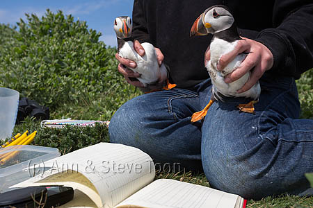 BCE24 Puffin pair removed from burrow for ringing
