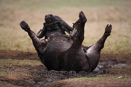 AMHB23(D) Cape Buffalo mudbathing