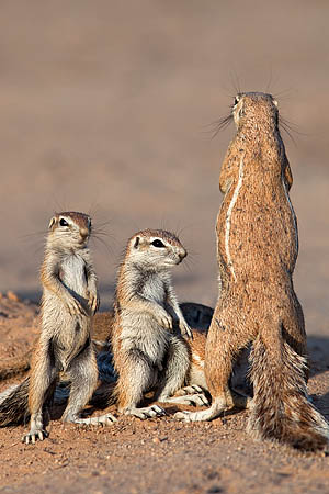 AMHSS84(D) Ground squirrel family
