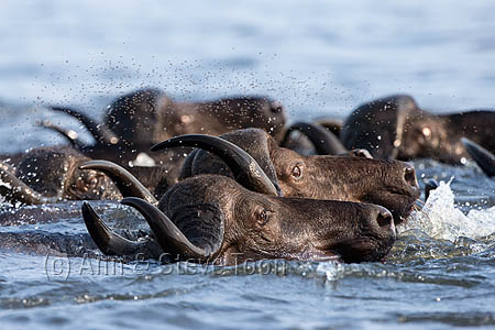 AMHB90 Cape buffalo herd swimming across Chobe river