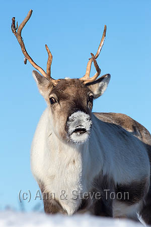 BMI03 Reindeer