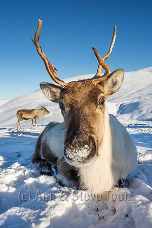 BMI06 Reindeer