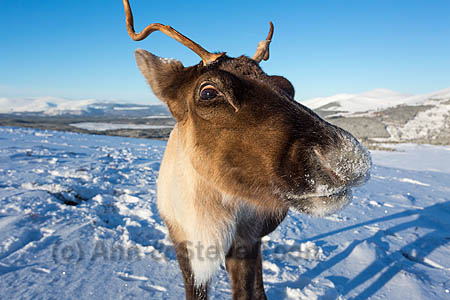 BMI08 Reindeer