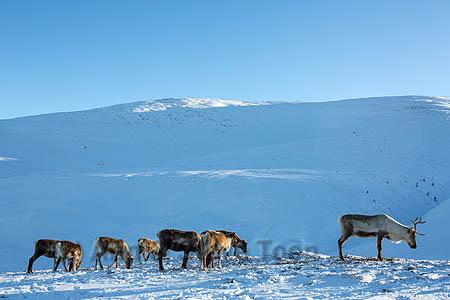 BMI09 Reindeer