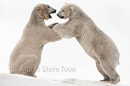 BML02 Polar bears playfighting