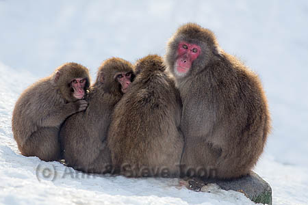 RM57  Snow monkeys
