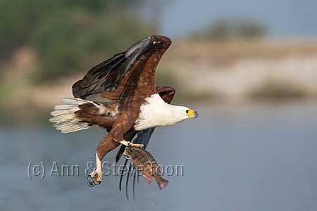 ABEE50 African fish eagle fishing