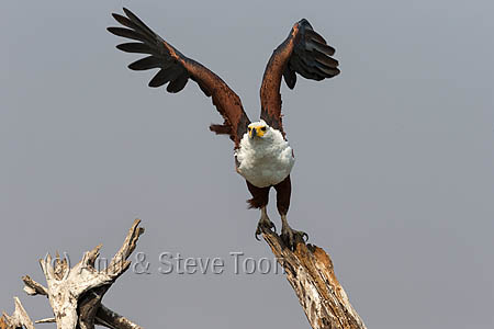 ABEE57 African fish eagle
