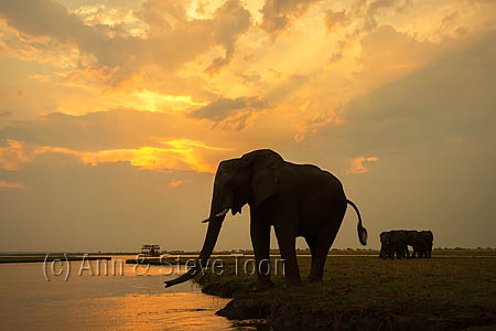 AMHE595 African elephant at dusk, Chobe