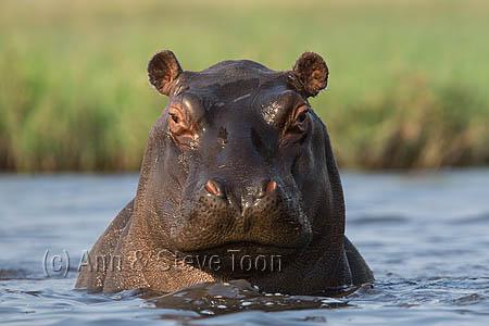 AMHH76 Hippo