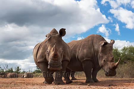 AMHRW168(D) White rhinos