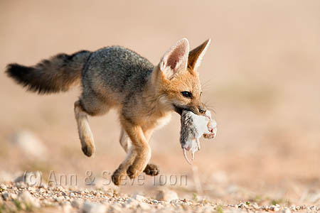 AMPFS88(D) Cape fox cub with dead rat
