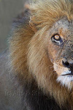 AMPL106(D) Lion